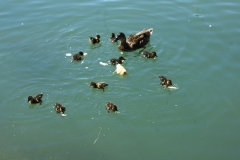 Ducklings come to visit